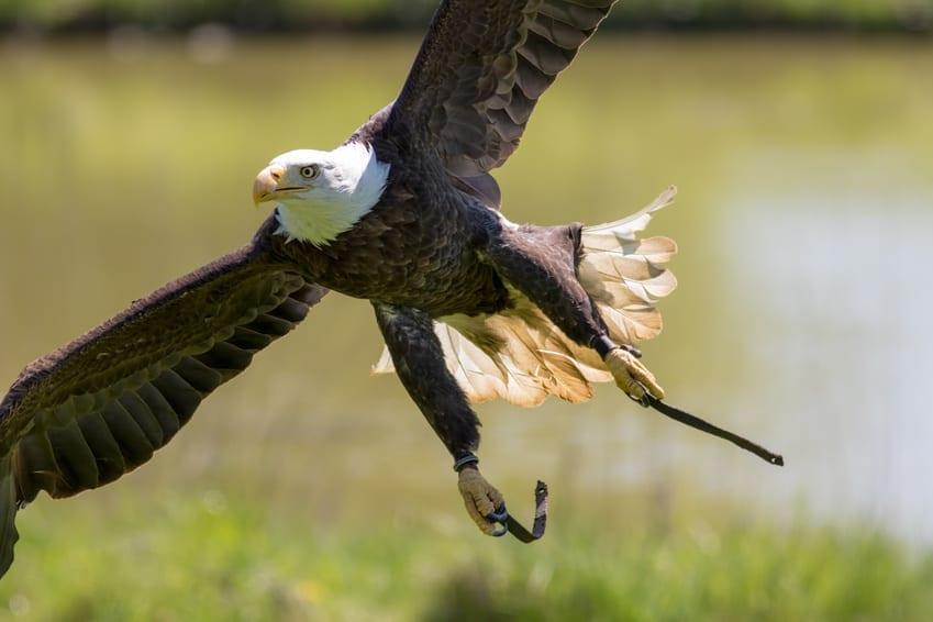 American bald eagle at flying bird of prey display.